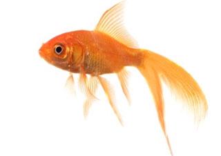 D fi idiot avaler des poissons rouges buzz gastronomie for Poisson rouge a donner