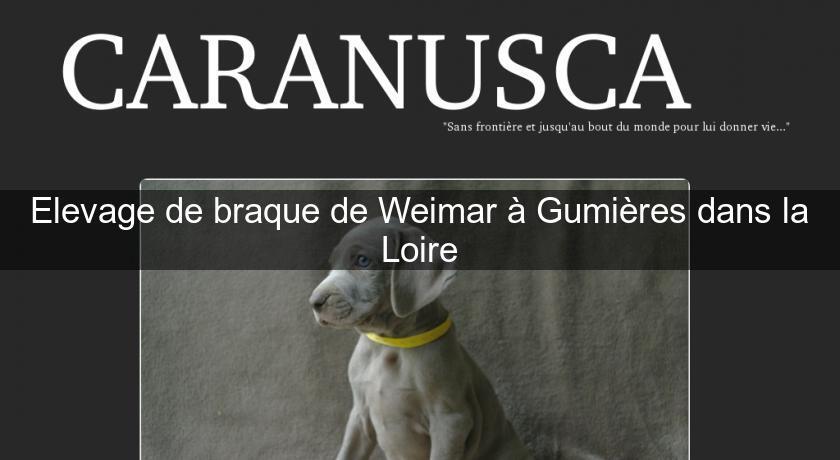 Elevage De Braque De Weimar à Gumières Dans La Loire Chien