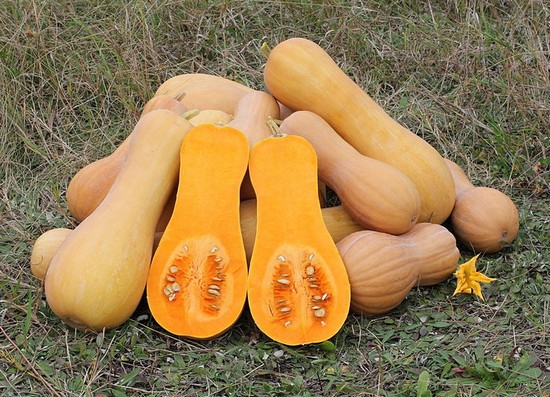 La courge butternut pr sentation et culture - Quand recolter les courges ...