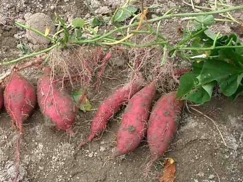 La patate douce pr sentation et culture - Cultiver la patate douce ...