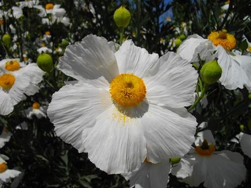 Le Pavot En Arbre Une Belle Fleur Estivale