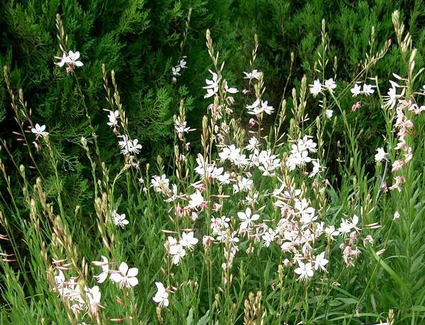 Le gaura une jolie plante vivace for Plante d interieur plein soleil