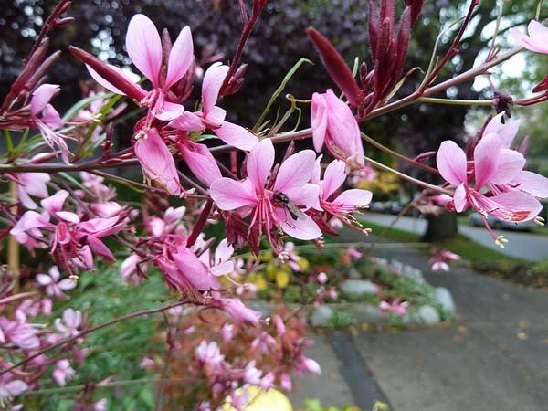 une plante Martin 25 janvier trouvée par Martine et Ajonc 9970-gaura-rose