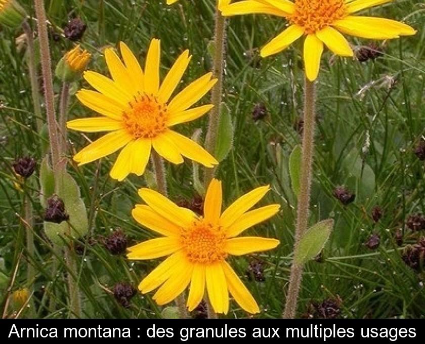 Arnica montana : des granules aux multiples usages