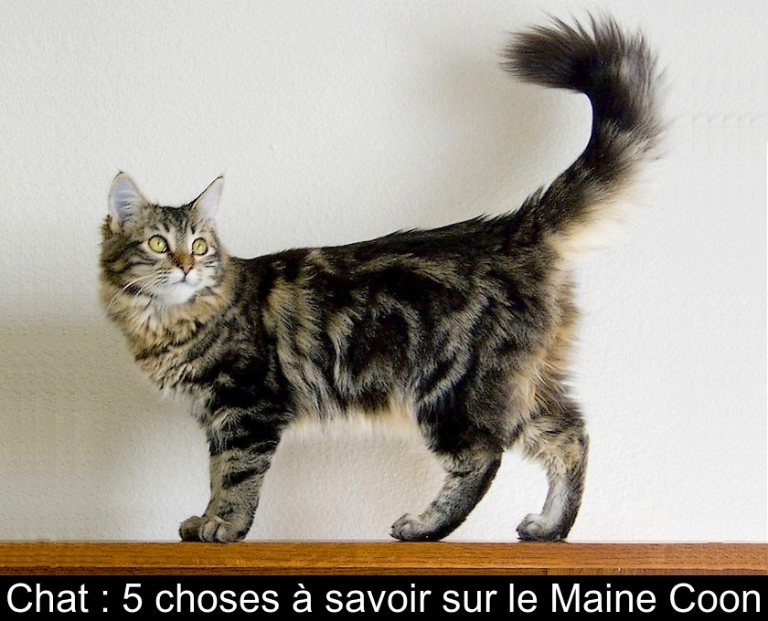 Chat  5 choses à savoir sur le Maine Coon
