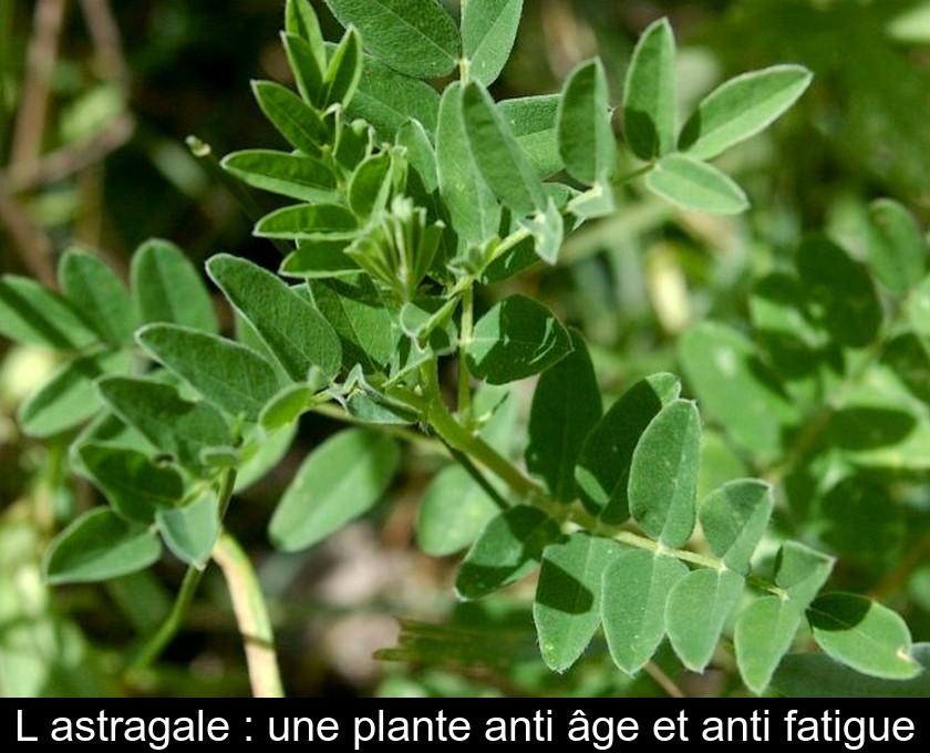 Astragale Plante Médicinale : Pas cher - Pilules - Posologie | Comment faire une cure ?