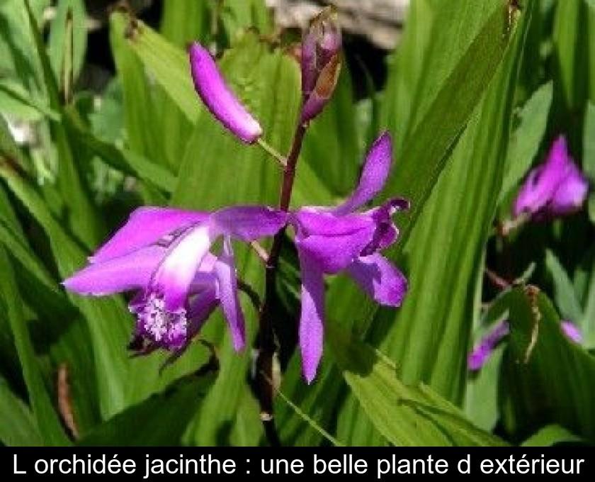 L\'orchidée jacinthe : une belle plante d\'extérieur