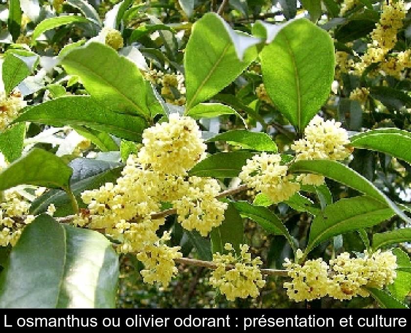 L\'osmanthus ou olivier odorant : présentation et culture