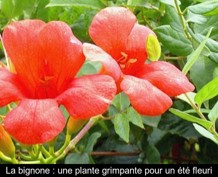 La Bignone Une Plante Grimpante Pour Un Ete Fleuri