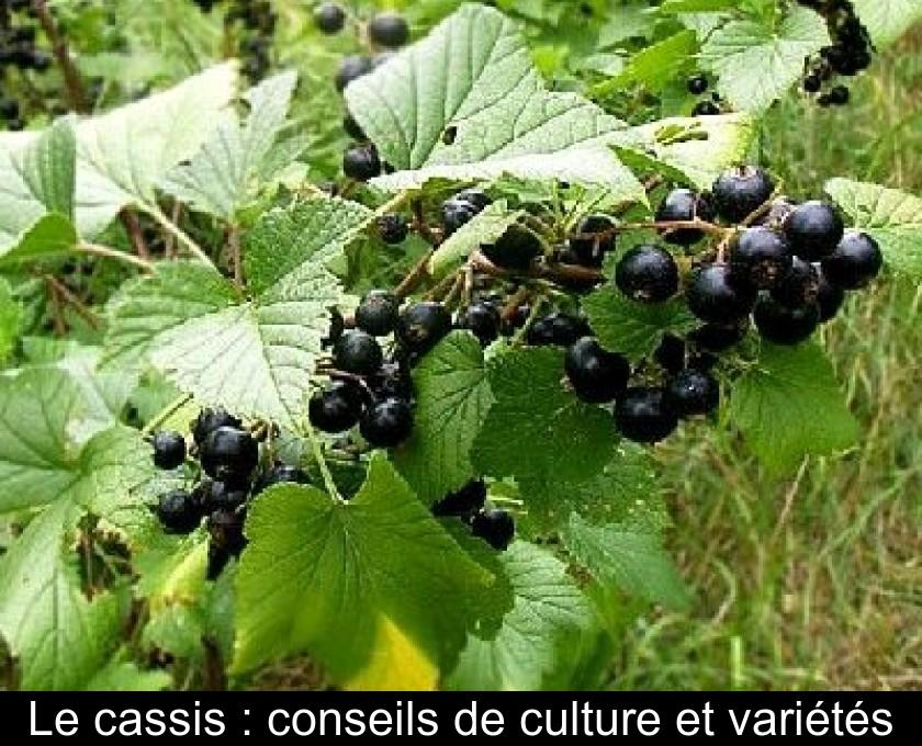 Le Cassis Conseils De Culture Et Varietes