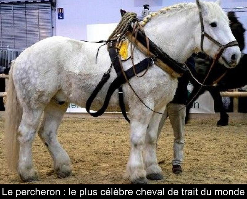 Le Percheron Le Plus Celebre Cheval De Trait Du Monde
