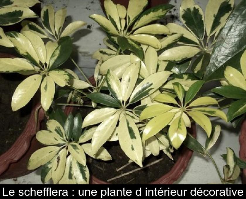 Le Schefflera Une Plante D Interieur Decorative