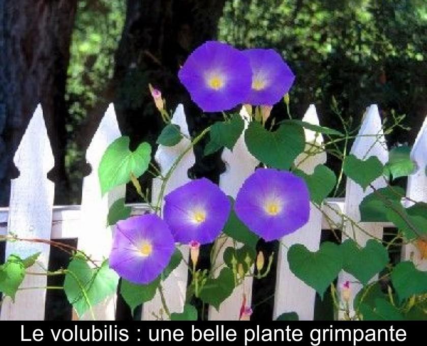 Le Volubilis Une Belle Plante Grimpante