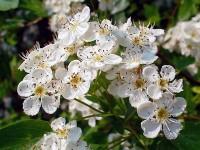 L'orthosiphon : une plante drainante