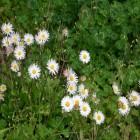 carte paquerette fleur de paques
