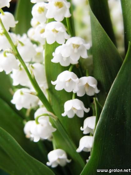 Carte muguet 1er mai th me fleurs - Photo muguet 1 mai ...
