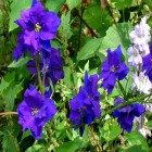 carte fleurs bleues