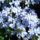 carte fleurs viollettes