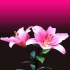 carte lys roses