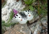 Photo Papillon des Alpes