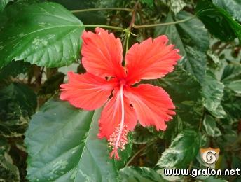 Photo fleur d'hibiscus photos fleurs nice