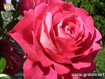 photo rose fuschia photos fleurs