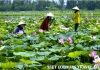Photo lotus, la fleur nationale du vietnam